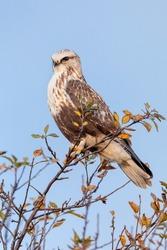 rough legged hawk at Delta British Columbia,  Canada,  north american