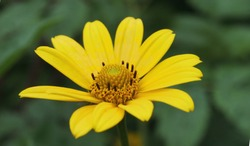 Rough oxeye or smooth oxeye or false sunflower (Heliopsis helianthoides) yellow flower close up