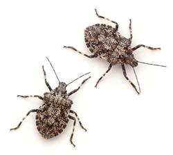 Rough Stink Bugs (Brochymena arborea)
