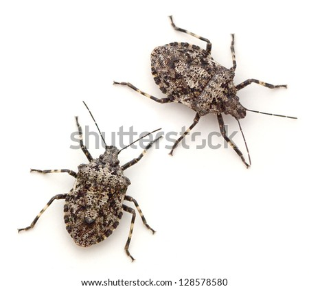 Rough Stink Bugs (Brochymena arborea)