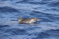 Rough toothed dolphin (Steno bredanensis). Picture taken during a whale watching trip in the south of Tenerife, Spain