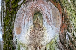 rough tree trunk surface with a big tree knot surrounded with green mosses texture background