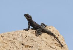 roughtail rock agama lizard or hardun lizard (Stellagama stellio or Laudakia stellio stellion or Lacerta stellio)