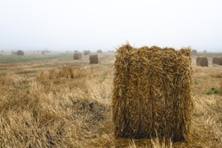 Round bale of straw close up. The fog begins to dissipate on a field of straw where round bales lie