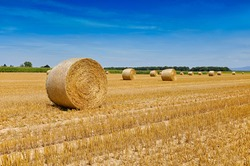 Round bales of straw rolled up on field against blue sky, autumnal harvest scenery