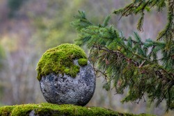 Round natural stone covered with moss. Green spruce branches. Nature background concept. Stone close up. Gardening.