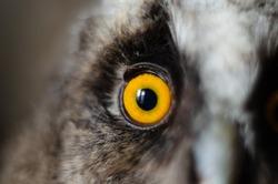 Round orange eye of an owl. Portrait of a bird, close-up. Vigilant attentive bird's eye. Animal world macro. Look straight. Bird of prey with gray feathers.
