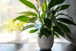 Round transparent self watering device globe inside potted peace lilies Spathiphyllum plant soil in home interior indoors, keeps plants hydrated during vacation period inside home.
