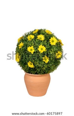 Round yellow flowering bush in pottery pot