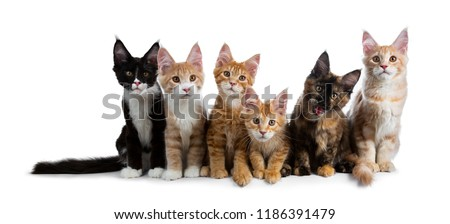 Row / group of six multi colored Maine Coon cat kittens all looking straight at lens, isolated on white background #1186391479