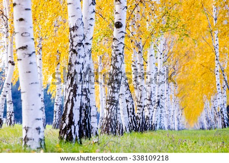 Row of birch trees with yellow autumn leaves  - Shutterstock ID 338109218