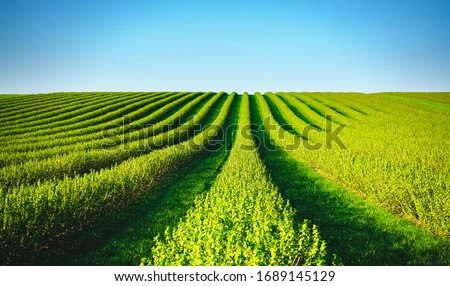Row of blackcurrant bushes on a summer farm in sunny day. Location place of Ukraine, Europe. Photo of creativity concept. Scenic image of agrarian land in springtime. Discover the beauty of earth.