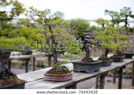 Row of bonsai trees at a japanese garden