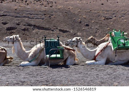 Row of camels waiting for tourists at Timanfaya National Park, Lanzarote, Canary Islands, Spain