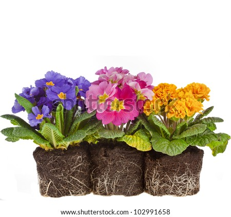row of colorful blooming primrose primula polyanthus isolated on white