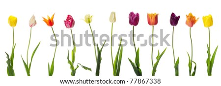 Row of colourful tulips isolated on white