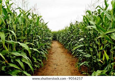 row of corn at a farm