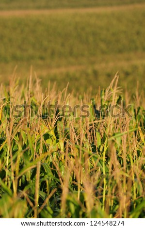 Row of cornstalks on a rural farm