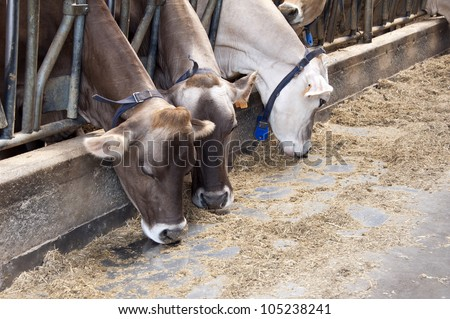 Row of feeding dairy cows in a stable on a farm
