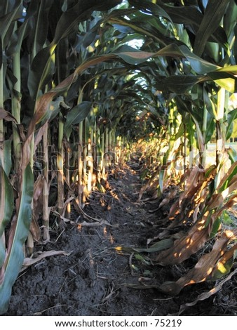 Row of Field Corn