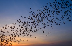 Row of flying bats colony with sunset sky background