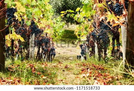 Row of grapevines ,Italian countryside , black grapes , saturated colors  #1171518733
