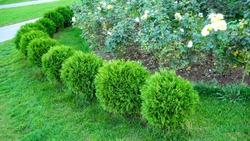 Row of green trees shrubs in the city park. Row of thuja trees. globular thuja Danica