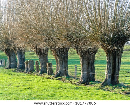 Row of knotted willows in a meadow in winter