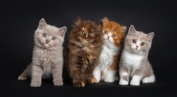 Row of multi colored litter of British Longhair and Shorthair kitten, sitting facing camera. Looking curious at viewer. Isolated on black background.