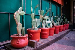 Row of nopales in brown pots on wooden floor and next to green metal wall. Mexican spiky plants in clay pots above wood surface. Traditional plants and food