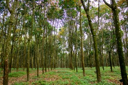 Row of para rubber trees,