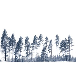 Row of pine trees in winter isolated on white