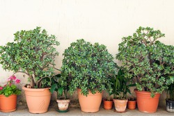 Row of pots with crassula and red geranium flowers on a yellow wall background. The location is an small town in the middle of the Cilento and Vallo di Diano National Park (Campania, Italy).