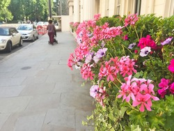 Row of potted flowers, geranium colourful flowers in Chelsea, Kensington, England, London