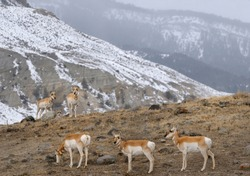 Row of Pronghorn Antelope and threesome over the ridge in winter at Old Yellowstone Trail South Gardiner Montana