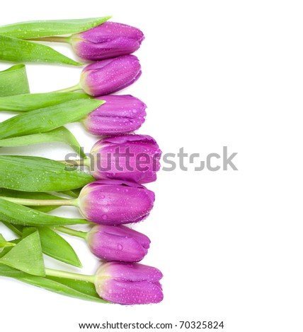 row of purple tulips and empty space for your text