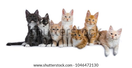 Row of seven maine coon cats / kittens looking at camera isolated on white background #1046472130