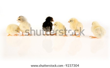 Row of six baby chickens on white