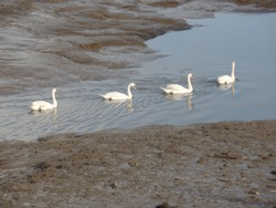 Row of swans moving along the river