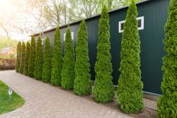 Row of tall evergreen thuja occidentalis trees green hedge fence along path at countryside cottage backyard. Landscaping design, topiary and maintenace