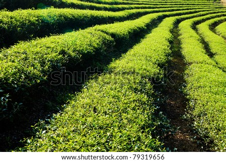 Row of tea trees in farm. Chinese tea farm, Asia. - stock photo