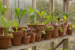Row of Terracotta Flowerpots Planted with Oriental Mustard Plants on a Wooden Shelf in a Greenhouse on an Allotment in a Vegetable Garden