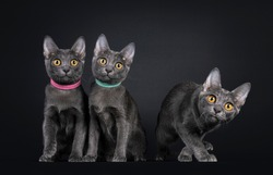 Row of three Korat cat kittens, sitting beside each other and on walking away. Looking to camera with bright orange eyes. Isolated on a black background.