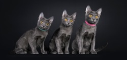 Row of three Korat cat kittens, sitting beside each other. Looking to and away from camera with bright orange eyes. Isolated on a black background.