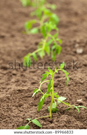 Row of tomato seedling in ground - stock photo
