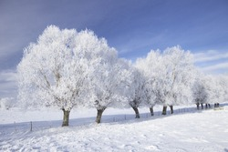 Row of trees in frost and landscape in snow against blue sky. Winter scene.