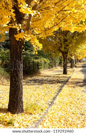 row of trees with yellow leaves ginkgo