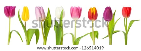 Row of tulips in various color isolated on white background