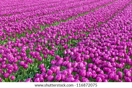 Row of tulips on Dutch spring fields