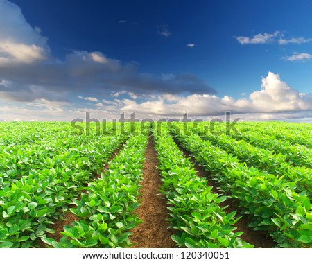 Row of vegetables on the field. Agricultural composition
